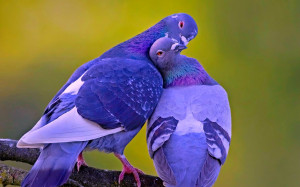 Spectacular Doves Spring Love Birds Wallpapers