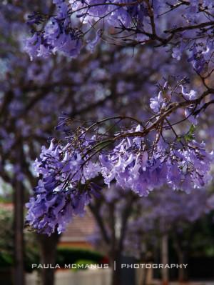 Jacaranda tree (Jacaranda mimosifolia) (©paula mcmanus)