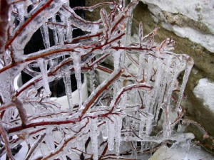 Ice and icicles on a bush.
