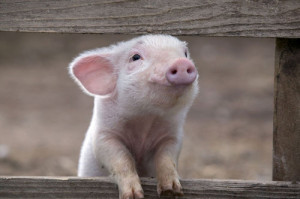 animal, cute, funny, pig, pink