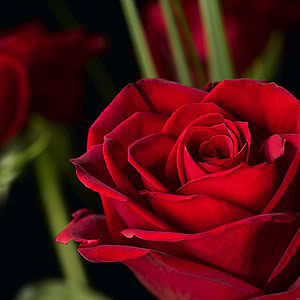 ... think's - So many beautiful Girls, whom should I give this Red Rose