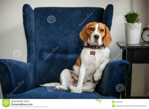 Funny beagle dog sitting in the chair like a boss at the interview ...