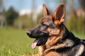 German Shepherd Dog Breed...