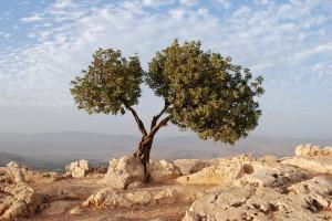 Beautiful Tree in Israel overlooking the Sea of Galilee.
