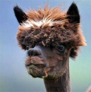 lama-coupe-de-cheveux-1