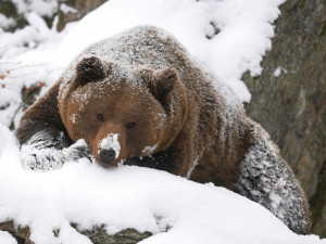 Grizzly Bear In The Snow HD Image Wallpaper