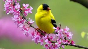 spring yellow bird - Beautiful Birds Picture
