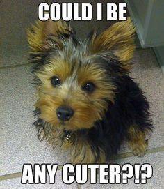 ... Yorkie Terriers, Sweets Yorkie, Tiny Yorkie, Yorkie Quotes, Furry