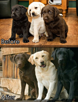 before & after, labrador puppy to labrador doggie, funny picture