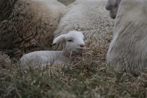 baby sheep, lamb, sheep