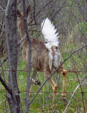 1362156370_White-tailed_deer,_tail_up.jpg