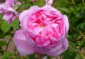 of Old Garden Rose Redoute Rose 39 Cabbage Rose 39 Rosa x centifolia