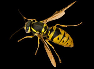 Closeup Wasp Copy Giant Queen