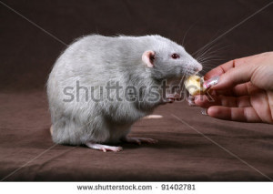 Fancy Pet Rat Rats Hairless