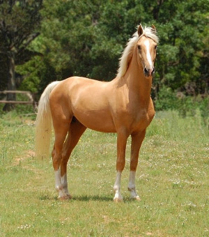 Palomino Horses | Napoleon – Palomino part Saddlebred Stallion ...