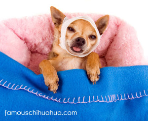 how much do you love your chihuahua …enough to get medical care?
