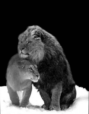 All About Lions Lion and Lioness in snow