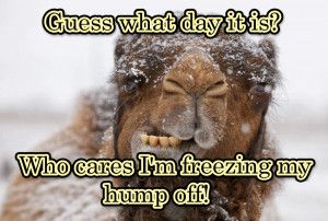 ... the week humor wednesday humpday winter quotes wednesday quotes camels