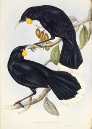 John Gould Birds New Gineau Hand Coloured Lithograph