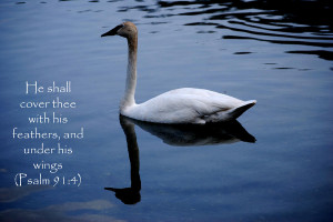 Swan - Bible Quote Photograph