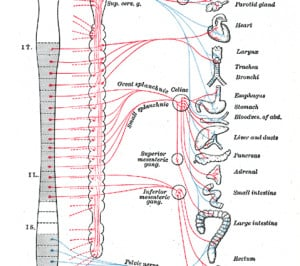 Central Nervous System Quotes QuotesGramNervous System Diagram Labeled