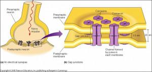 Heart Gap Junctions in Cells