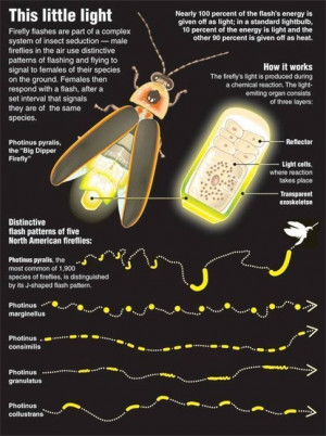 Full answer: Facts About Fireflies