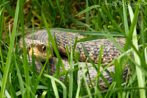 snake-in-the-grass-2-01.jpg