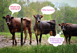These cows were so funny! We ran across them on our hike yesterday ...