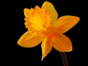 Images Daffodil