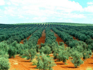 These are the memorable quotes olive oil times Pictures