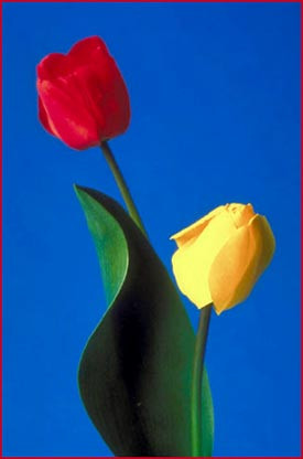 ... birthday quotes - bouquet of tulips, a red tulip and a yellow tulip