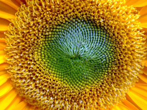Sunflower Close Up Wallpapers