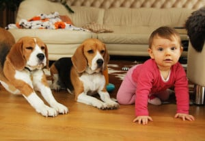 Beagles Szczeniaki Beagle