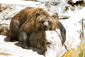 grizzly bear at Henry Vilas Zoo