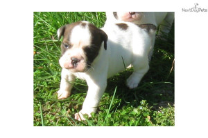 Related Pictures olde english bulldogge puppies for sale in pa