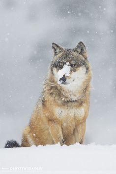 and Ma'iingan (Original Man and Wolf) Wolf Hunt Desecrates Ojibwe ...