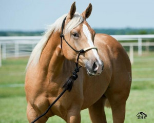 palomino horse | Tumblr