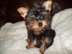 Yorkie Puppy Cut Face