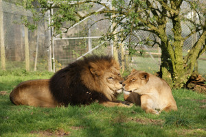 Lion And Lioness Love Quotes Lion and lioness photos
