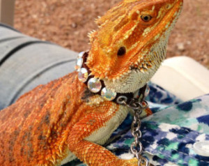 Custom Adult Bearded Dragon