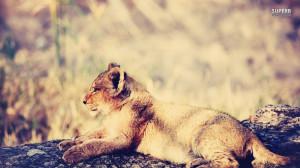 Animals Lions Lion Cub Baby
