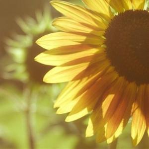 我爱太阳花