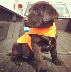 Chocolate lab hunting puppyTraining, Labrador Retriever, Hunting Dogs ...