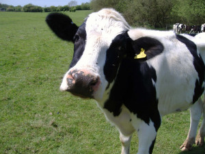 our farm currently has 130 holstein milk producing cows each cow wears ...