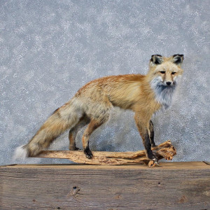 Red Fox Life Size Taxidermy