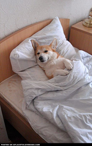 ... sayings | Awwwwwwdorable Corgi pup all tucked in and ready for bed