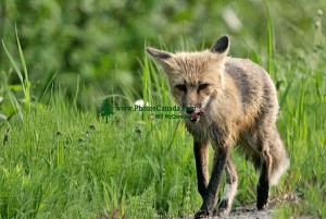 Red Fox Lying Quebec Canada