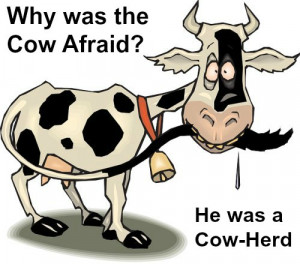 funny cow jokes 6 why was the calf afraid he was a cow herd