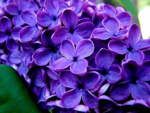 ... flowers purple flower images purple flowers picture of purple flowers